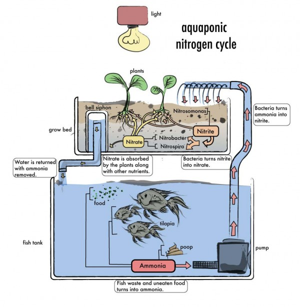 aquaponic cycle