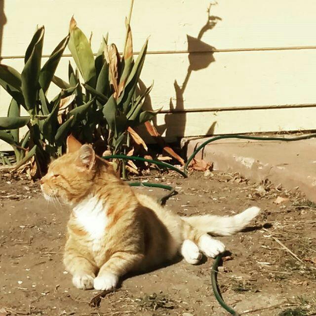 Morris the cat at Orange Cat Cafe